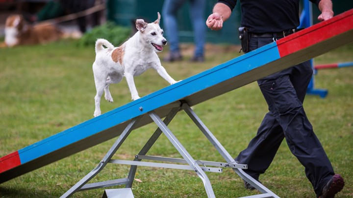 dog on a see saw agility test