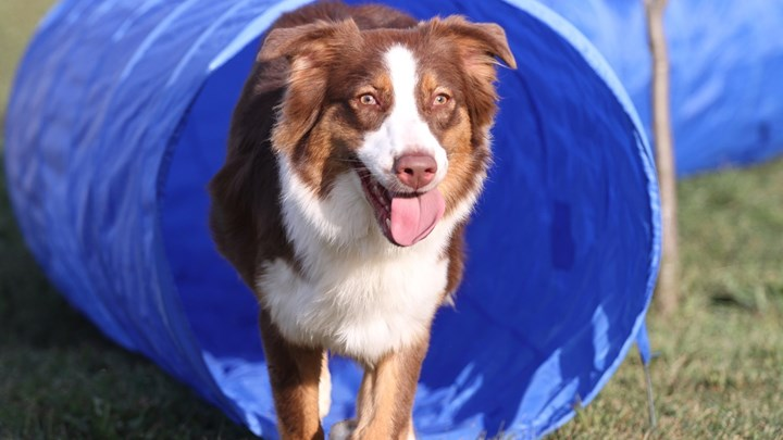 colley dog coming out of a tunnel agility test